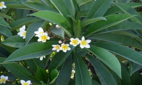 Zdjecie GRECJA / RODOS / KREMASTI / Kwiat