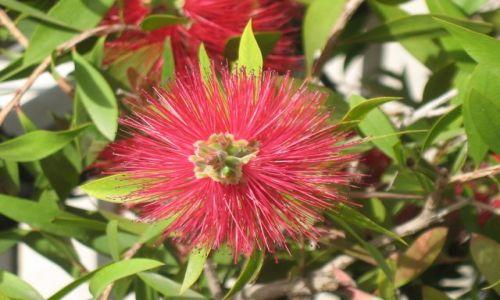 Zdjecie GRECJA / Attiki / Ateny / Kwiaty greckie