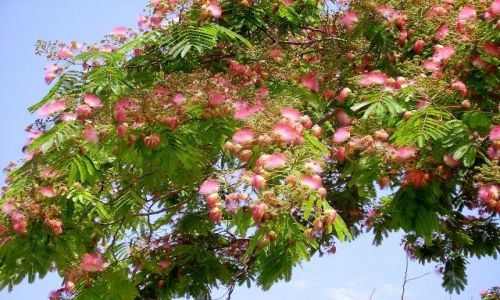 Zdjęcie GRECJA / wyspa Kreta / Kreta / kwitnące drzewa na Krecie
