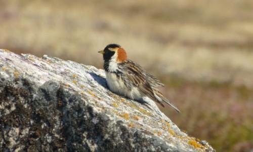Zdjęcie GRENLANDIA / Grenlandia Zachodnia / Uujuk / Poświerka