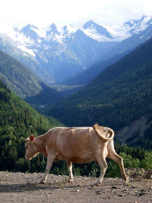 Zdjęcia: Mestia, okolice..., Swanetia, ... w takich okolicznościach mleko jest lepsze...., GRUZJA