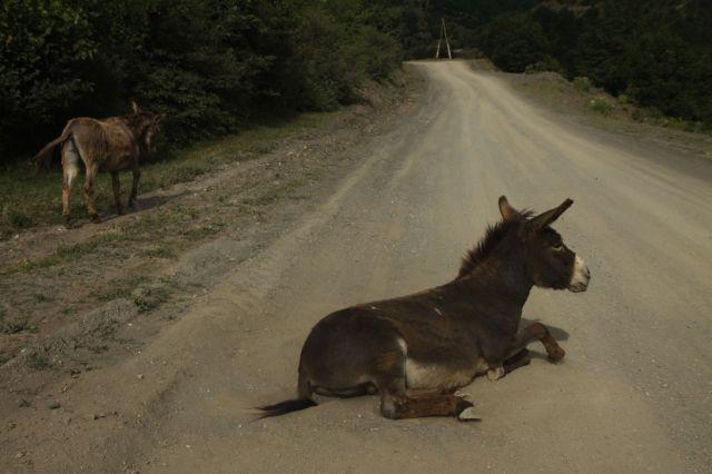 Zdjęcia: środek drogi..., Megrelia/Górna Svanetia, Osioł jaki jest...każdy widzi , GRUZJA