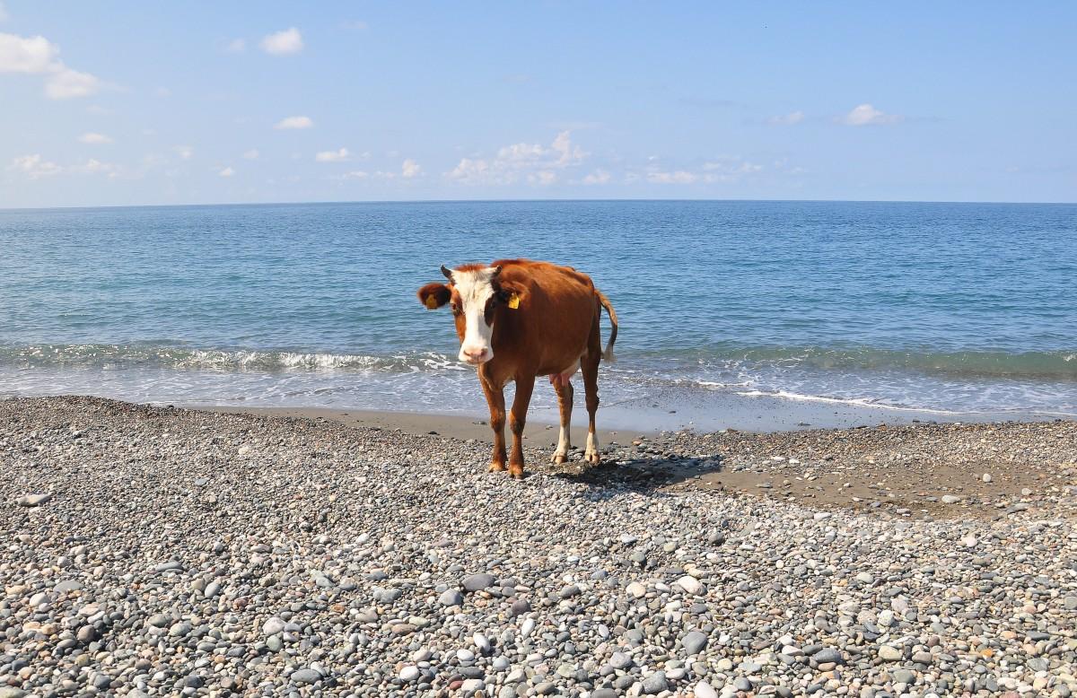 Zdjęcia: Gonio, Adżaria, Krowa na plaży, GRUZJA