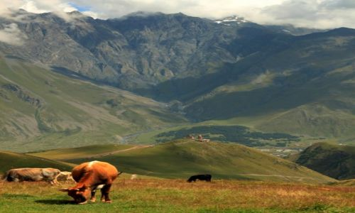 Zdjecie GRUZJA / Kaukaz / Na Kazbek / Wszędobylskie gruzińskie krowy