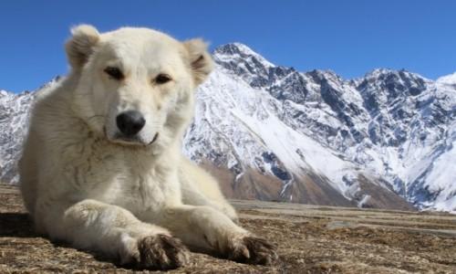 Zdjęcie GRUZJA / Kaukaz / Kaukaz / Mis czy pies
