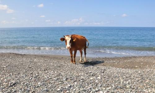 GRUZJA / Adżaria / Gonio / Krowa na plaży