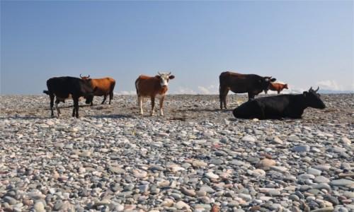 Zdjęcie GRUZJA / Adżaria / Gonio / Krowy na plaży