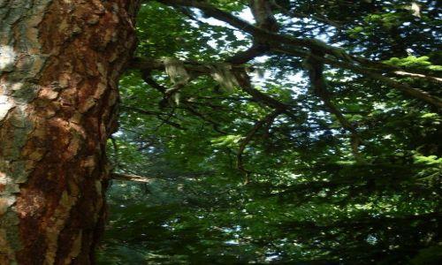 Zdjęcie GRUZJA / Park Narodowy Borżomi-Karaguli / północny-zachód od Atskuri (Atskuri w połowie drogi pomiędzy Borżomi a Akhaltsikhe) / ... drzewo z wąsami...