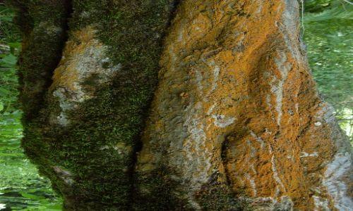 Zdjęcie GRUZJA / Park Narodowy Borżomi-Karaguli / północny-zachód od Atskuri (Atskuri w połowie drogi pomiędzy Borżomi a Akhaltsikhe) / ... drzewo z ... brodą?