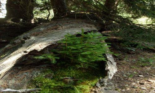 Zdjęcie GRUZJA / Park Narodowy Borżomi-Karaguli / północny-zachód od Atskuri (Atskuri w połowie drogi pomiędzy Borżomi a Akhaltsikhe) / ile jest drzew w drzewie?