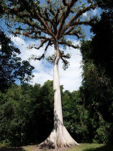 Zdjęcia: Tikal, Ceibo, drzewo - os ziemi dla Majow, GWATEMALA