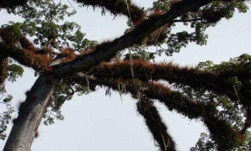 Zdjęcie GWATEMALA / - / Tikal / Ceiba