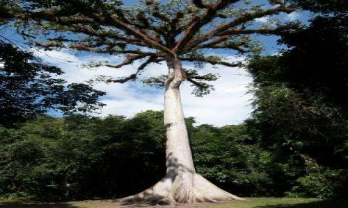 GWATEMALA / brak / Tikal / Ceibo, drzewo - os ziemi dla Majow