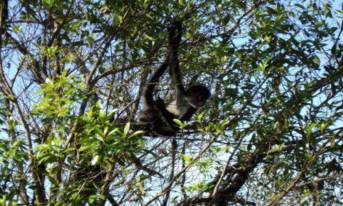 Zdjęcie GWATEMALA / Tikal / dżungla w okolicy Tikal / pie monkey