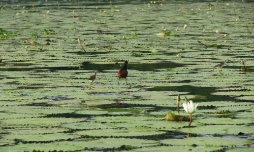 Zdjęcie GWATEMALA / - / jezioro Izabal / Ptaszek chodzący po wodzie