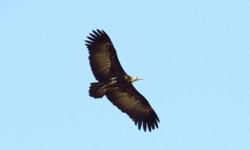 Zdjęcie GWINEA BISSAU / Wyspy Bijagos / Rubane / Sęp brunatny