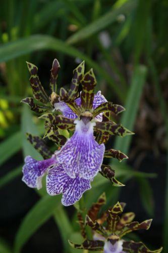 Zdjęcia: Teneryfa, Orchidea, HISZPANIA