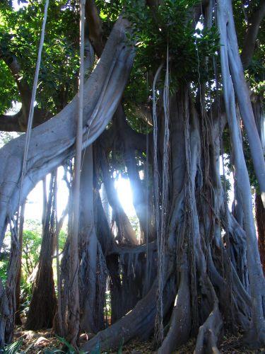 Zdjęcia: Teneryfa, Magiczne drzewo, HISZPANIA