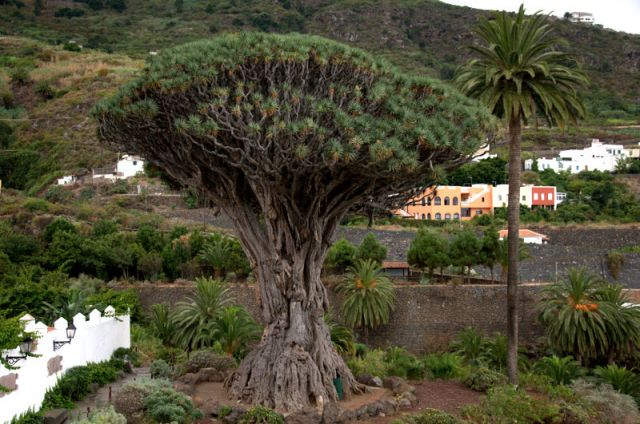 Zdjęcia: La Gomera - Canary Islands, La Gomera, Drzewko 1500 lat stare, HISZPANIA