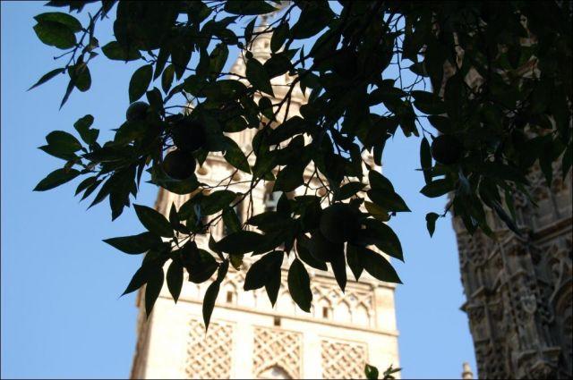 Zdj�cia: Sevilla, Andaluzja, Mandarynki z katedr� w tle, HISZPANIA