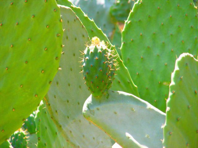Zdj�cia: Malaga, Andaluzja, Kaktus, HISZPANIA