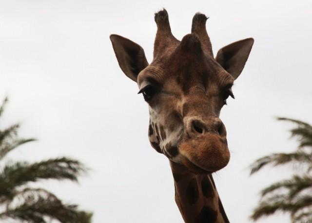 Zdjęcia: Oasis Park, Fuerteventura/Wyspy Kanaryjskie, Ponad palmami, HISZPANIA