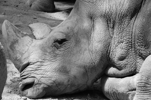 Zdjęcia: zoo, nosorozec, HISZPANIA