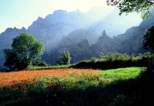 Zdjęcia: Picos de Europa, kanion rzeki Cares, Asturia, Maków wniebowstąpienie, HISZPANIA