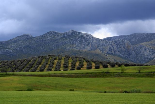 Zdjęcia: w drodze do białych wiosek, Andaluzja, Oliwki, HISZPANIA