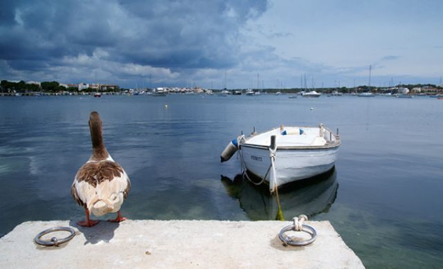 Zdjęcia: Porto Colom, Majorca, Kaczka żeglarz, HISZPANIA