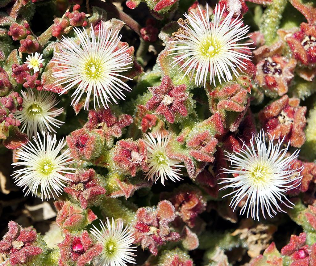 Zdjęcia: Elche, Alicante, Kwitnący kaktus, HISZPANIA