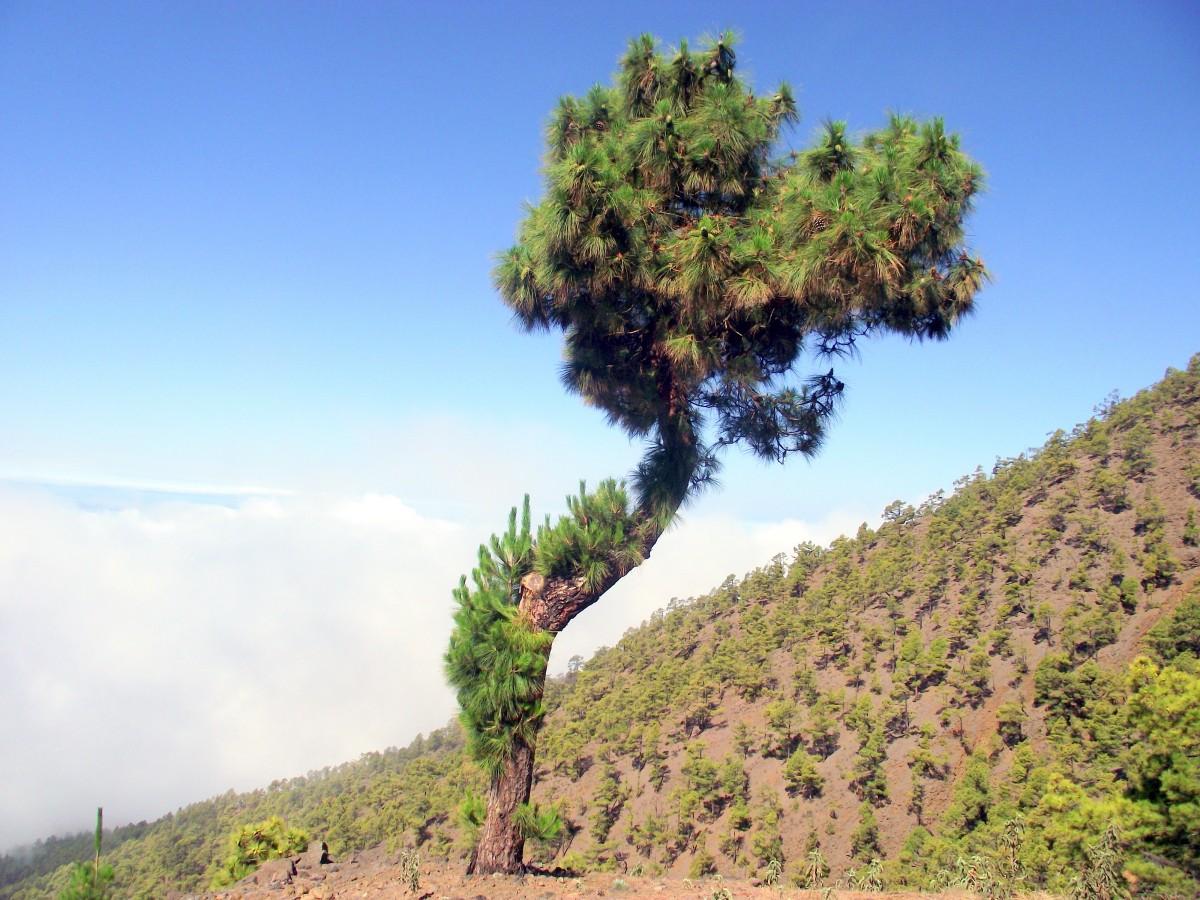 Zdjęcia: La Palma, Park Narodowy Caldera de Taburiente, Wyspy Kanaryjskie, Sosenka, HISZPANIA