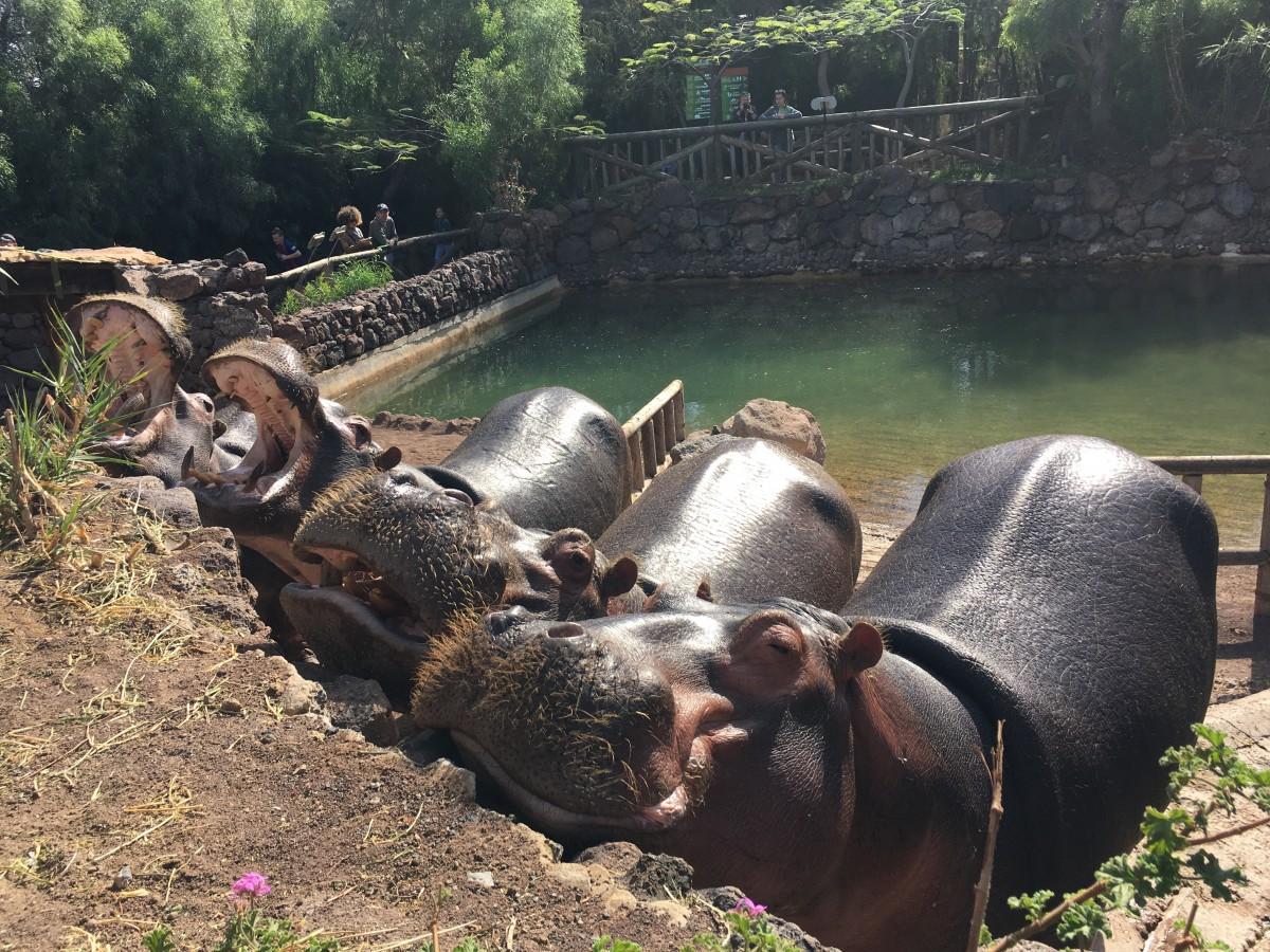 Zdjęcia: Fuereventura, La Lajita Oasis Park, Wesołe Hipopotamy, HISZPANIA