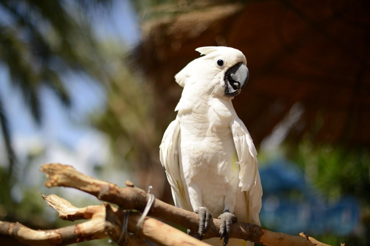Zdjęcia: Majorka, Marineland Majorca (Calvia), Śliczna kakadu, HISZPANIA