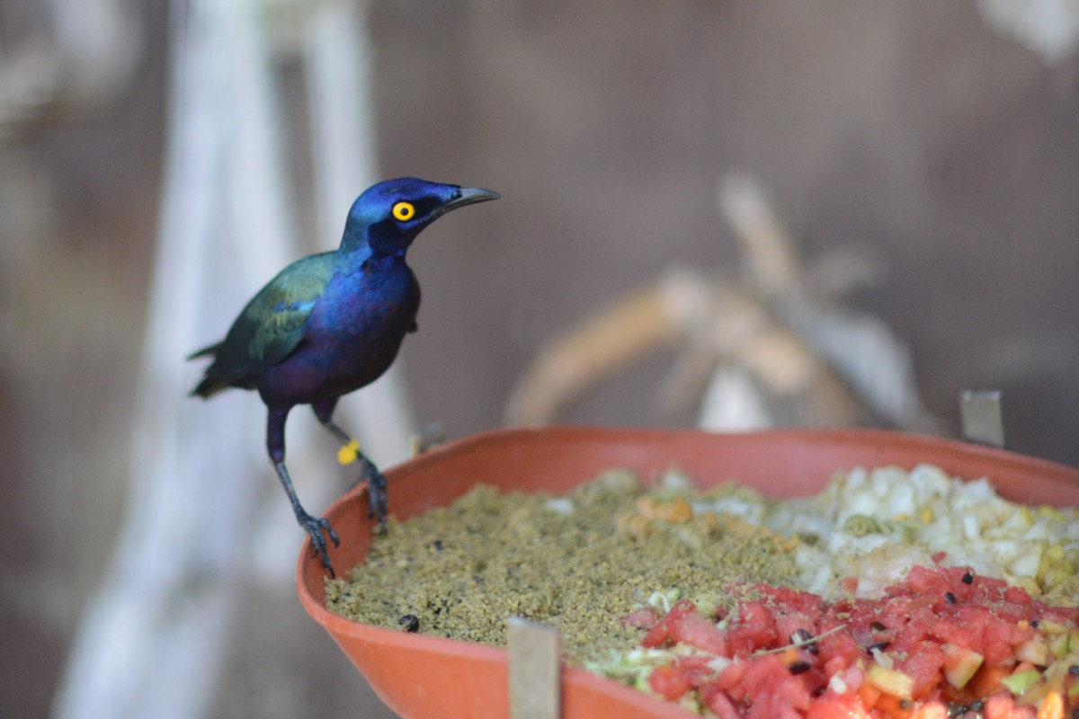 Zdjęcia: Majorka, Marineland Majorca (Calvia), Niebieski ptaszek, HISZPANIA