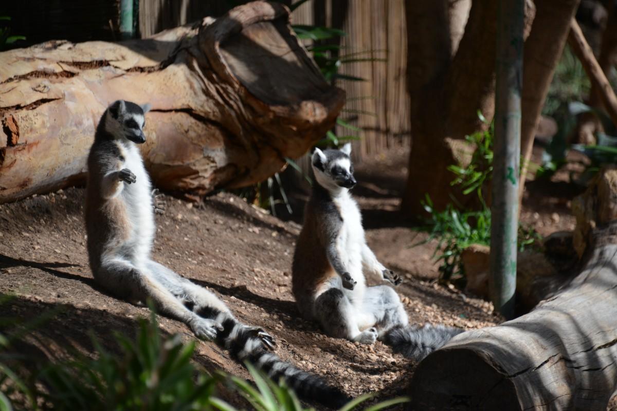 Zdjęcia: Fuerteventura, La Lajita Oasis Park, Lemurki medytacja, HISZPANIA