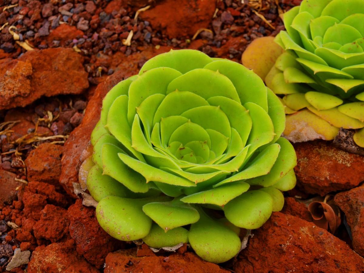 Zdjęcia: La Gomera, Wyspy Kanaryjskie, flora La Gomery 3, HISZPANIA