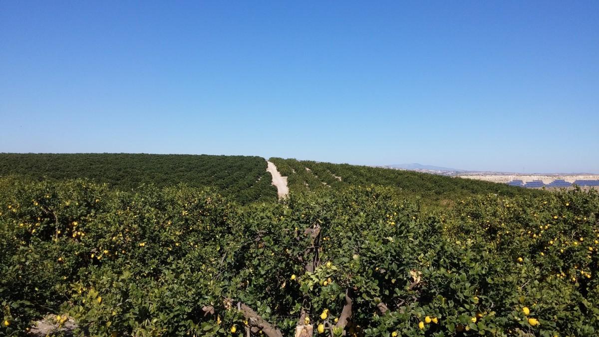 Zdjęcia: Pod Murcia, Murcia, Sady pomaranczowe, HISZPANIA