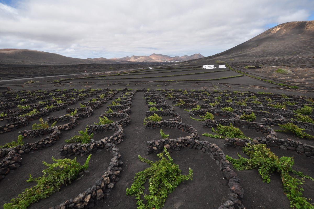 Zdjęcia: winnica, Lanzarotte, winogrona, HISZPANIA