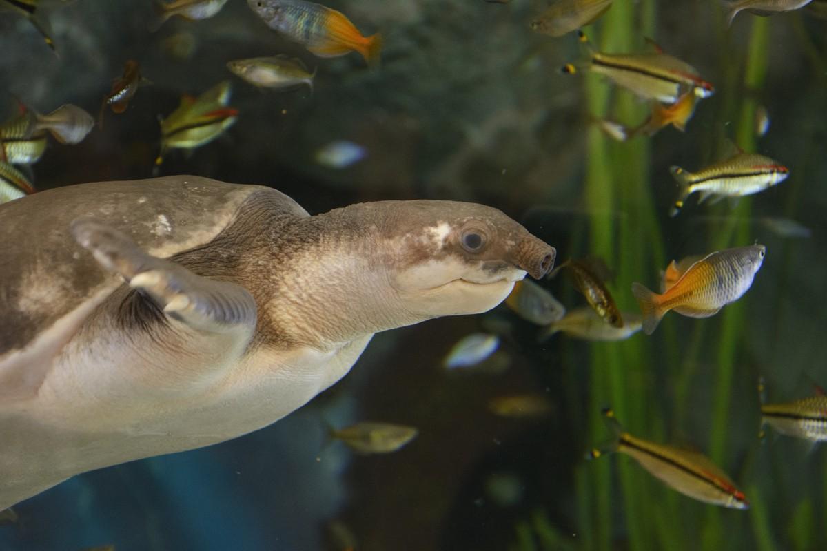 Zdjęcia: Las Palmas (Aquarium Poema del Mar), Wyspy Kanaryjskie - Gran Canaria, miękkoskórek dwupazurzasty (pig-nosed turtle), HISZPANIA