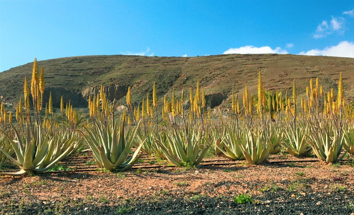Zdjęcia: Betancuria, Fuerteventura/Wyspy Kanaryjskie, Aloesy, HISZPANIA