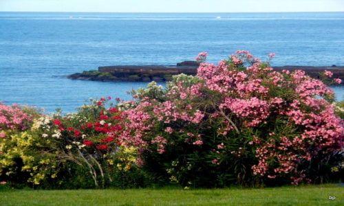 Zdjęcie HISZPANIA / Wyspy Kanaryjskie, Teneryfa / Costa Adeje, wybrzeże / Oleandry