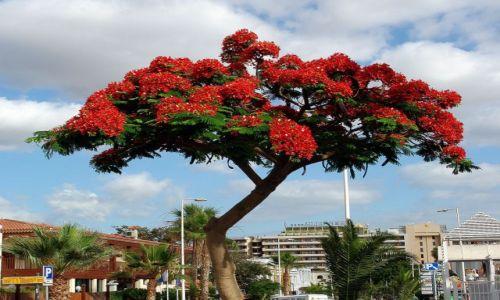 Zdjecie HISZPANIA / Wyspy Kanaryjskie, Teneryfa / Costa Adeje / Kwiaty na drzewie