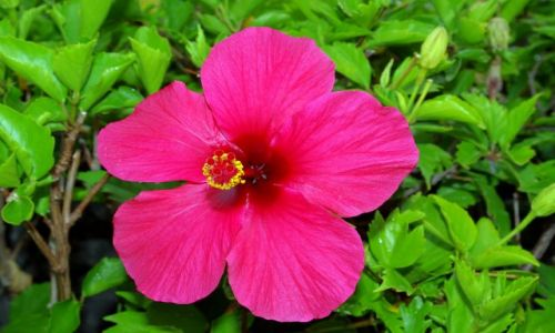 Zdjęcie HISZPANIA / Wyspy Kanaryjskie, Teneryfa / Costa Adeje / Kwiaty kanaryjskie.