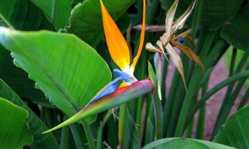 Zdjecie HISZPANIA / Wyspy Kanaryjskie, Teneryfa / Los Realejos, ogród przy klasztorze. / Kwiaty kanaryjskie.
