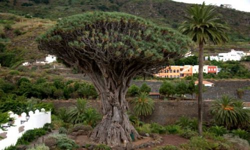 Zdjecie HISZPANIA / La Gomera / La Gomera - Canary Islands / Drzewko 1500 lat stare