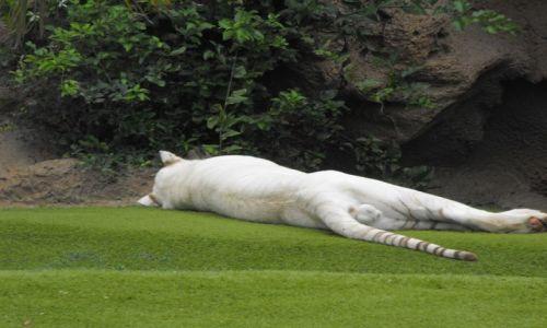 Zdjecie HISZPANIA / - / Loro Park ( Teneryfa ) / Biały tygrys