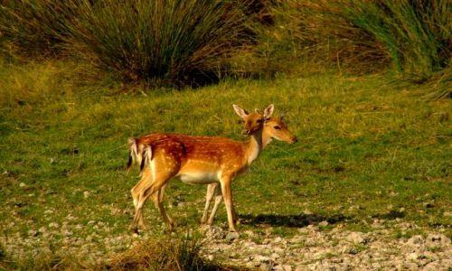 Zdjecie HISZPANIA / Andaluzja / Park Doñana / Dwugłowy daniel