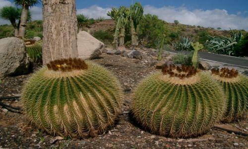 Zdjecie HISZPANIA / Teneryfa / Garachico / Kaktusy