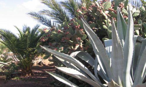 Zdjecie HISZPANIA / - / Fuerteventura / Opuncja Figowa